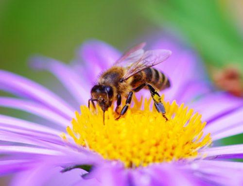 La moria delle api – un allarmante fenomeno che minaccia noi tutti