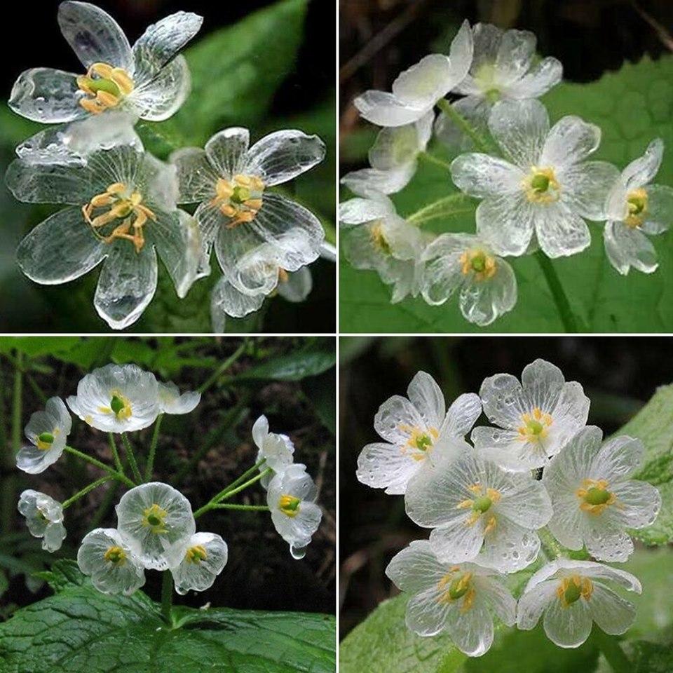 Skeleton flower: il fiore che diventa trasparente quando piove