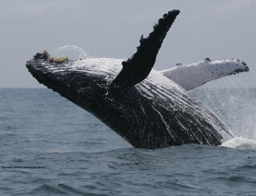 Il canto delle balene_8000 ore di registrazioni accessibili a tutti