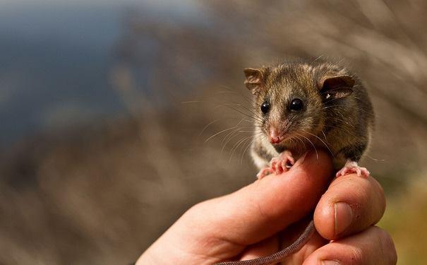 Opossum del miele: un animale con gli attributi!